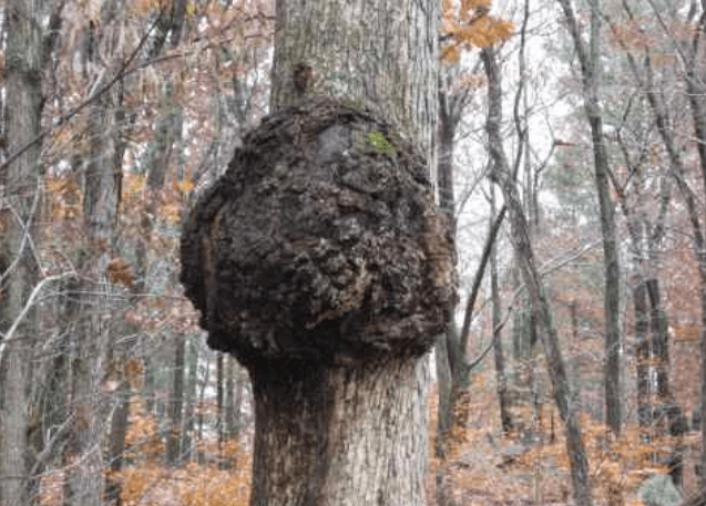 This is an example of a normal looking tree burl you can find in the woods to harvest and sell to fund your travels around the world. This particular tree burl netting me close to four thousand dollars and gave me enough travel money to take my first big trip to Nepal
