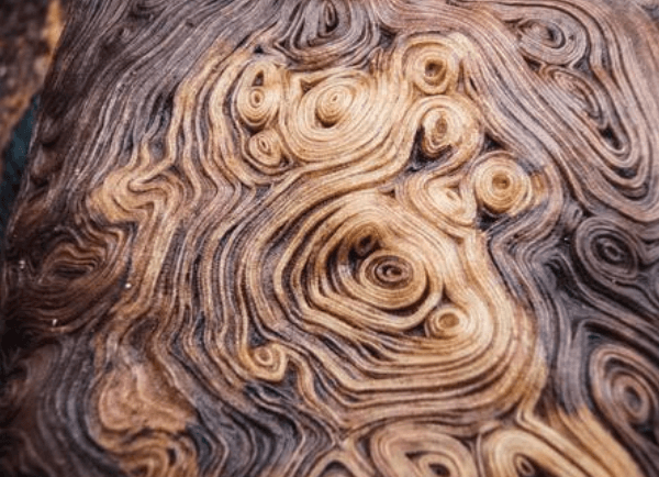 After cutting open a tree burl this is the type of pattern wood vendors are looking for to pay you top dollar and fund your travels around the world.