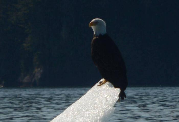Alaska Travel Adventures with Bald Eagles