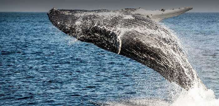 Whale jumping Travel Adventures