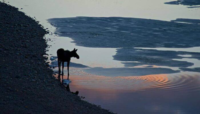 Baby moose Travel Adventures