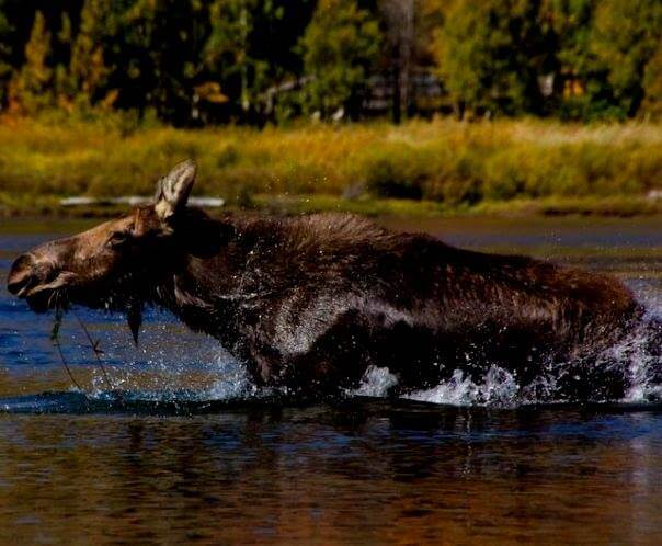 Alaska Travel Stories with a moose