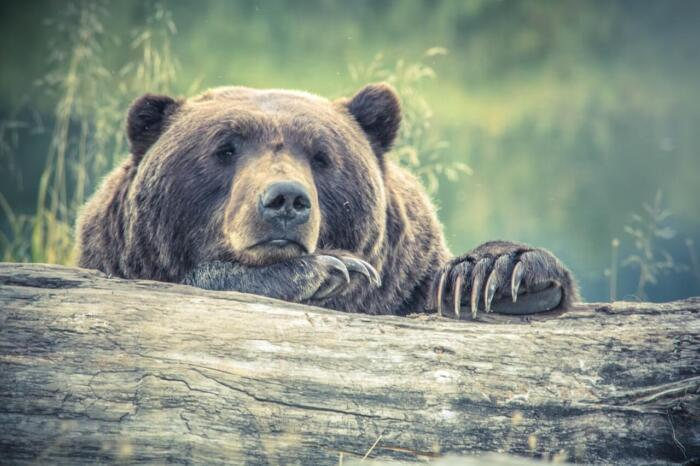 bored brown bear in glacier national park