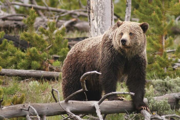 Ptarmigan Tunnel glacier national park grizzly bear