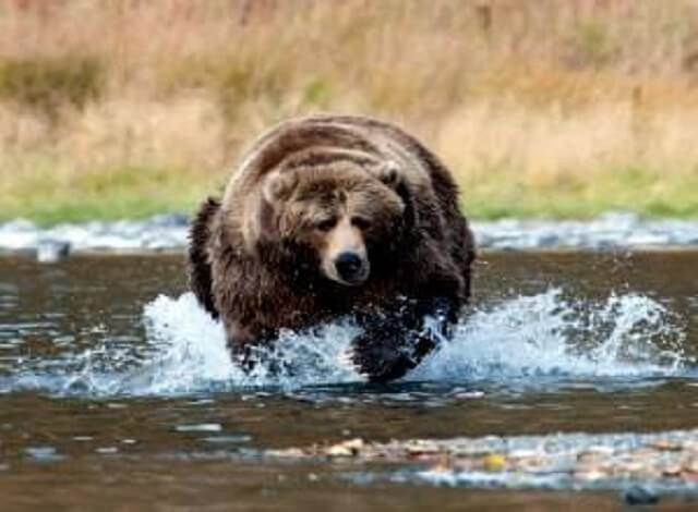 Yellowstone Bear Attack. Be bear aware. Carry bear spray and be aware of your surroundings.