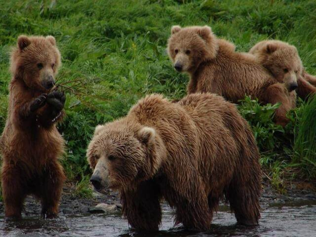Mama bear and three cubs fishing in Yellowstone river near campsite in Columbus Montana during our RV road trip to Idaho