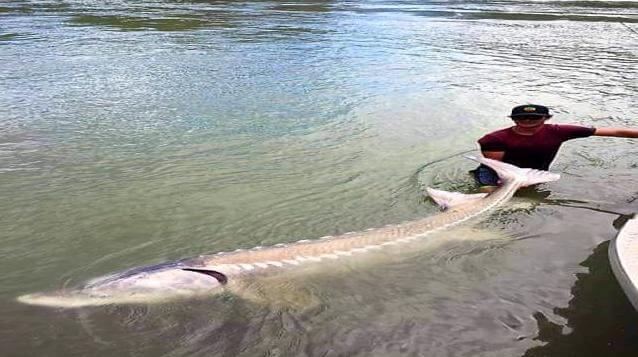 Ever held a dinosaur? This is me AOWANDERS holding a real live dinosaur in the snake river outside of McCall Idaho during my RV road trip from Becker Minnesota. A 25 foot Sturgeon.
